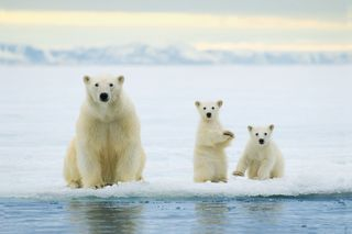 AY35656581Polar bear mother