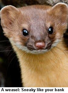 Weasel cropped
