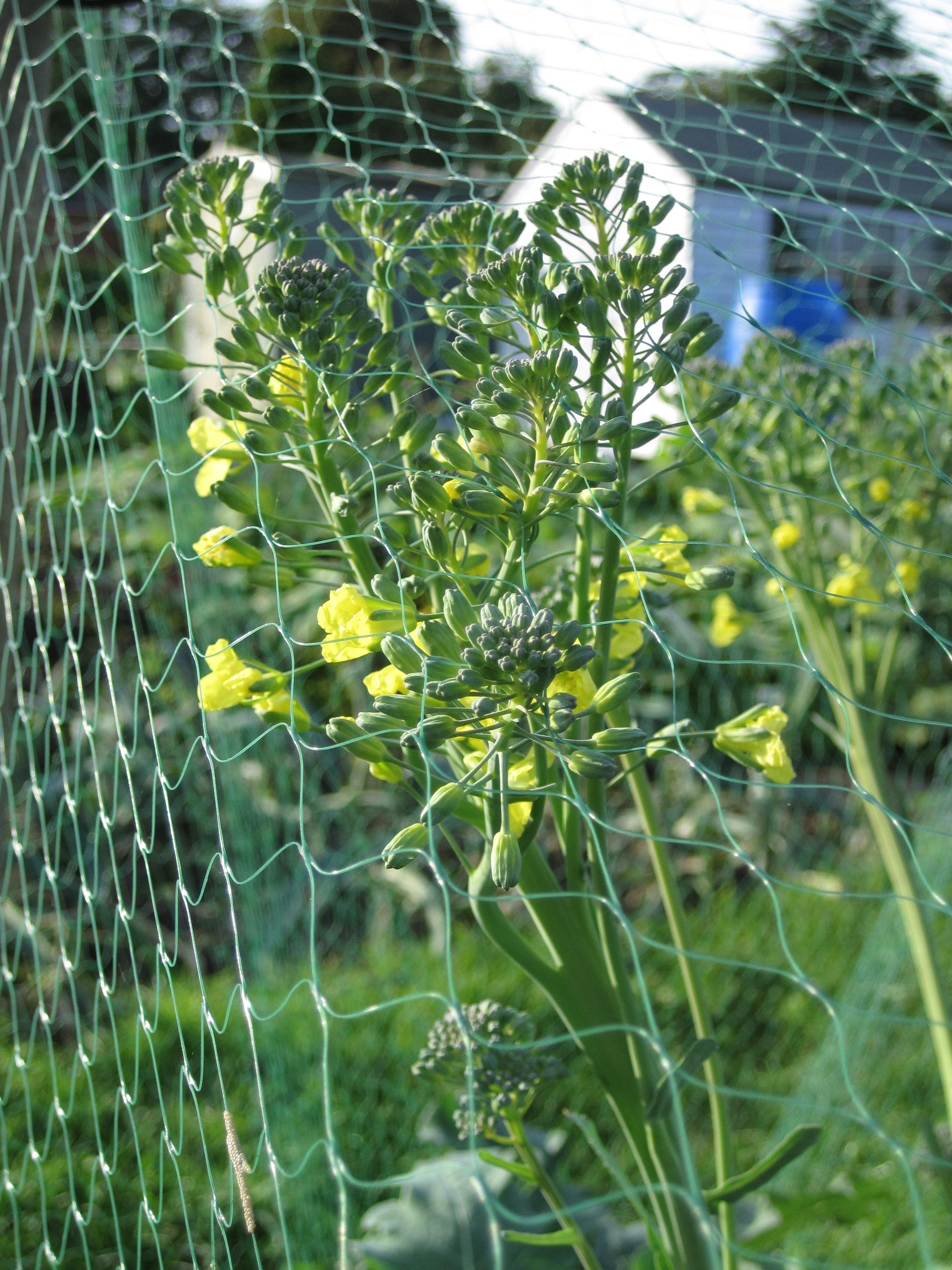 Yellow flowers on the broccoli mail online david derbyshires img3431 mightylinksfo