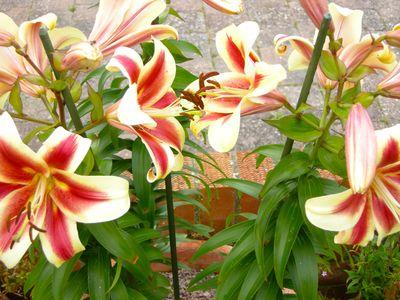 Tree lily starburst
