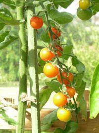Tomato-sungold