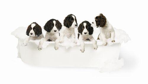 JP pet - puppies