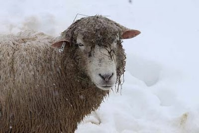 Wet sheep in snow