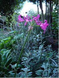 Nerine-'Isobel'-in-garden