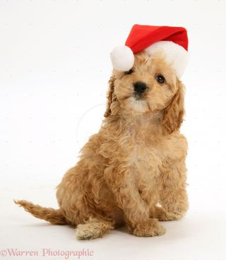 17038-American-Cockapoo-puppy-8-weeks-old-in-Santa-hat-white-background
