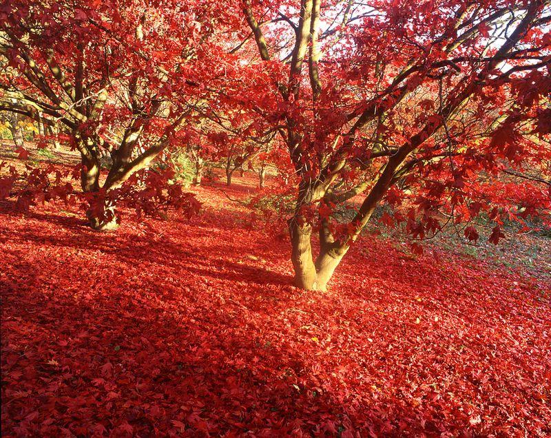 Surrey Hills Red Getty