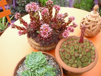 Sempervivums and Echeverias are flourishing