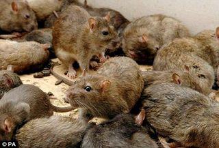 Rats dm