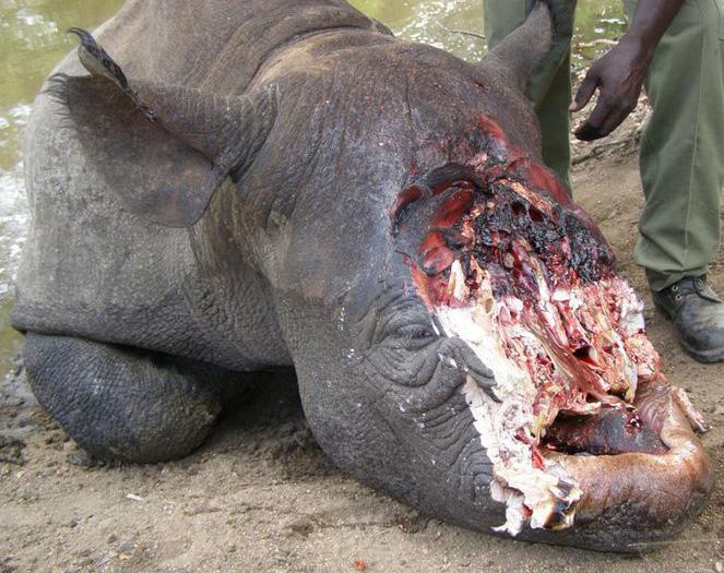 Hornless rhino-1
