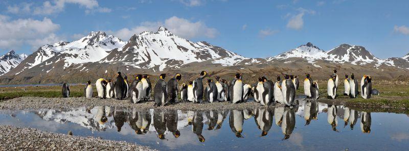 King_penguins.jpg