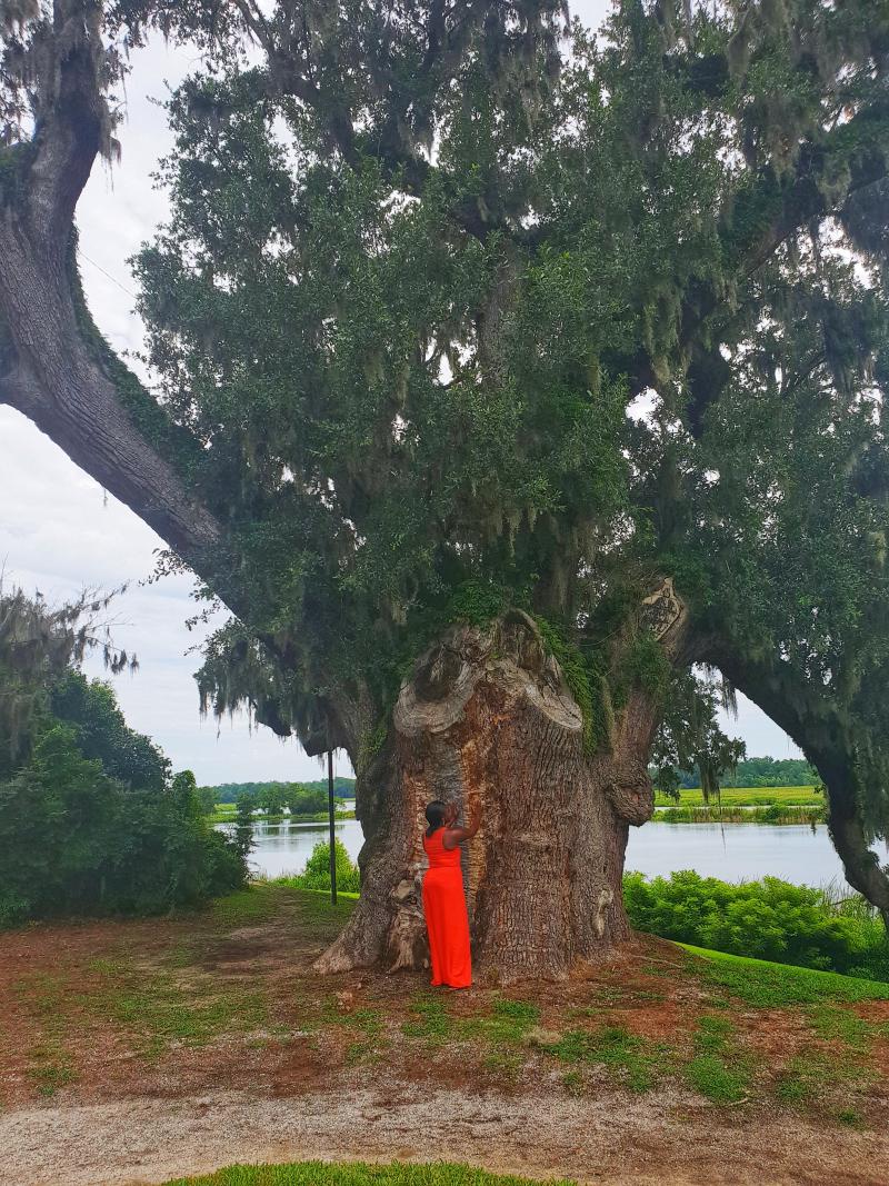 Middleton Oak tree