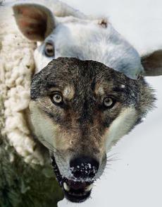 Wolfsheep